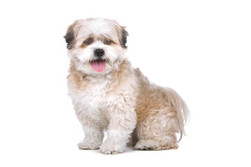 mixed breed dog (boomer) isolated on a white background