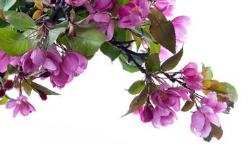 Fototapete - Kirschblüte im Frühling isoliert