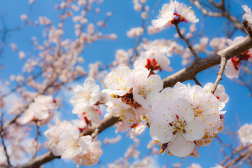 Flowers of an apricot