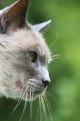 Grey Cat Profile