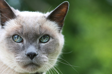Blue Eyed Cat On Green