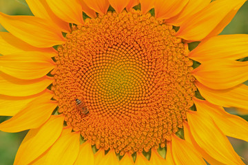 Closeup Picture of Sunflower