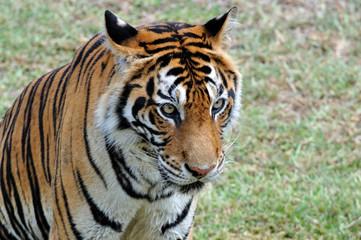 Foto op Canvas Tijger tigre