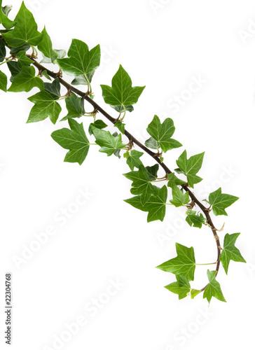 Lierre photo libre de droits sur la banque d 39 images for Achat de plantes par correspondance