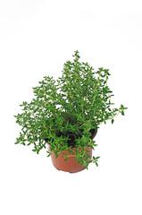 plant de thym