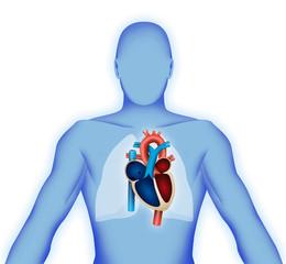 Corpo umano con cuore in evidenza