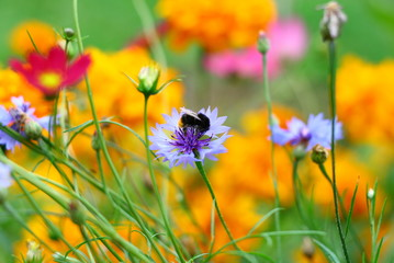 Bumble-bee (Bombus) on flower
