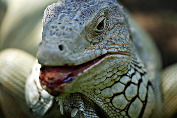 Closeup of comodo dragon