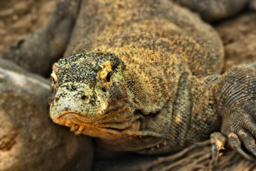 Large comodo dragon