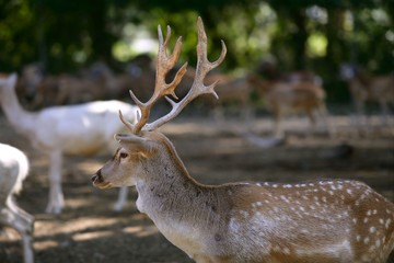 Deer male with good horns profile side view with females