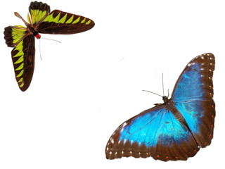 Two exotic butterflies on white background