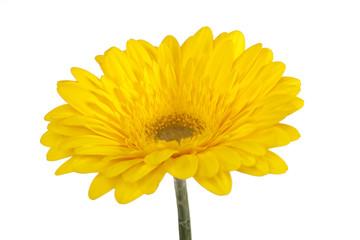 Gerbera gelb isoliert