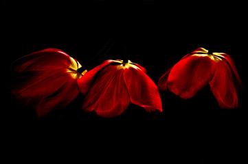 3 red tulip, black background