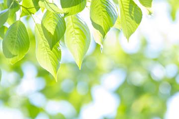 新緑の葉桜