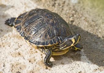 Red Neck Slider Turtle