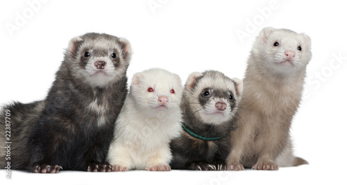 Wall mural Group of four ferrets, 5 years, 6 years, 3 years, 1 years old