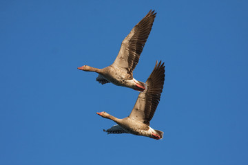 a pair of Greylag Goose in flight against the blue sky
