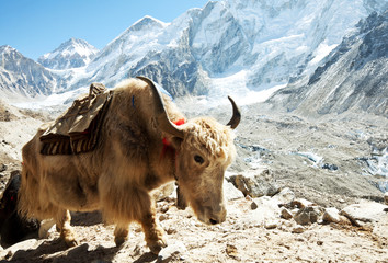 Printed kitchen splashbacks Nepal Yak in mountains