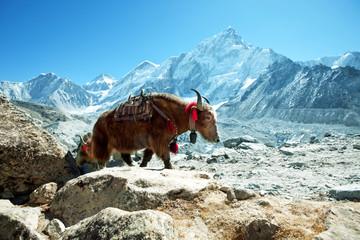 Photo sur Plexiglas Népal Yak