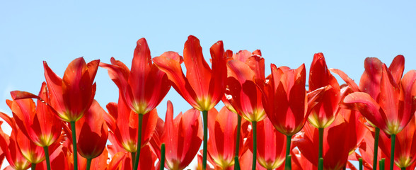 Red Fairy Tulips Against a Clear Blue Sky