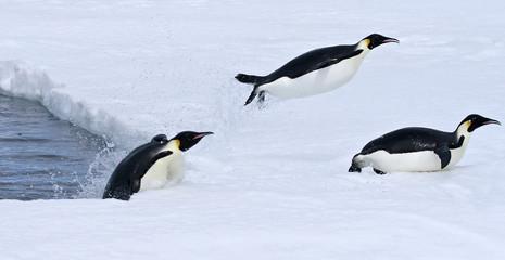Canvas Prints Antarctic Emperor penguins (Aptenodytes forsteri)