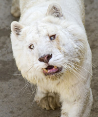 Cross Eyed White Tiger Closeup