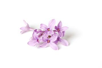 Flieder. Zarte lila Blüten, isoliert