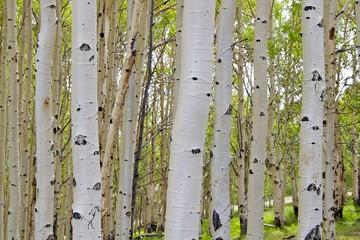 Spoed Foto op Canvas Berkbosje Birch tree barks, Dixie Nat Forest, Scenic Byway 12, Utah