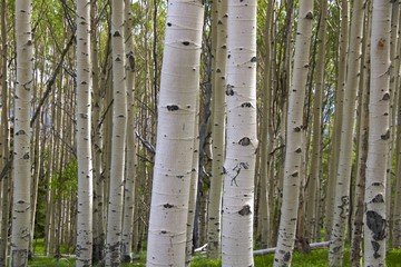 Birch tree barks with kokopelli, Byway 12, nr Capitol Reef NP