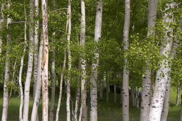 Spoed Foto op Canvas Berkbosje Birch trees, Dixie Nat.l Forest, National Scenic Byway 12, Utah