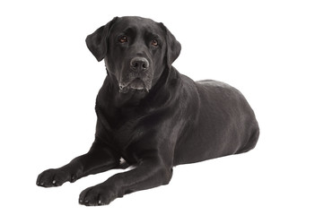 lying Black Retriever Labrador Dog isolated