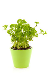 Parsley in green flower pot
