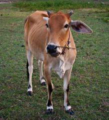 ox in thailand