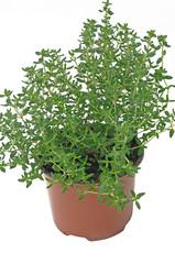 plant de thym en conteneur