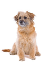 front view of a Pyrenean Shepherd(Pyrenees sheepdog)