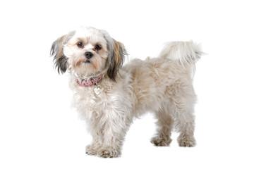 Maltese dog isolated on a white background