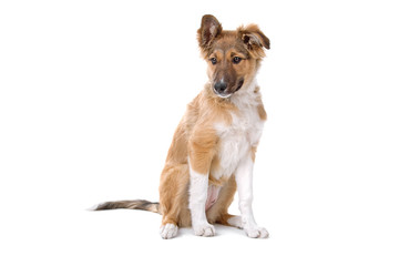 cute mixed breed puppy isolated on a white background