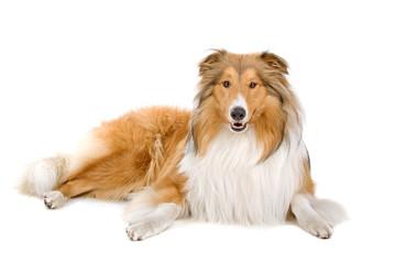 Rough collie (scottish) Scottish shepherd (Lassie)