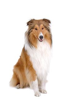 rough collie - scottish shepherd (lassie)