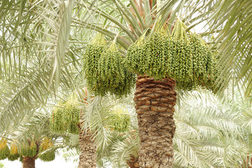 date palm trees with green dates at shallow depth of focus
