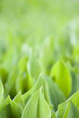 Fresh green leafs