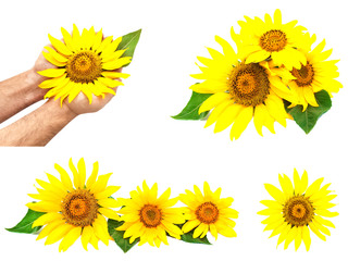 Set of various sunflowers isolated on a white background