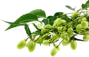azadirachta indica, lilas des Indes, neem, fond blanc