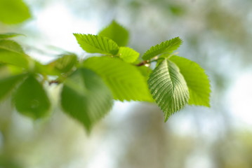 Spring young nut-tree leaves