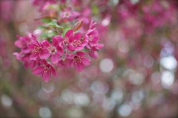 Spring - Pink Flowering Tree