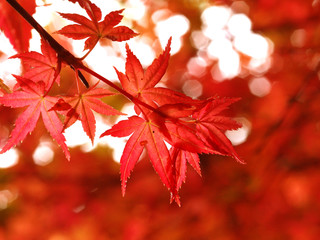 maple turns red in fall