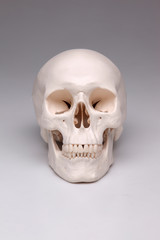 Totenkopf Modell des Schädels eines Menschen