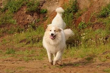 Wall Mural - Rennende Pyrenäenberghunde