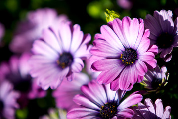 Purple daisies in the garden