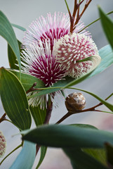 Hakea laurina showing flower and bud